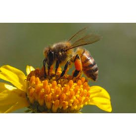 The All-Important Honey Bee Under Siege in Franklin County GCC event
